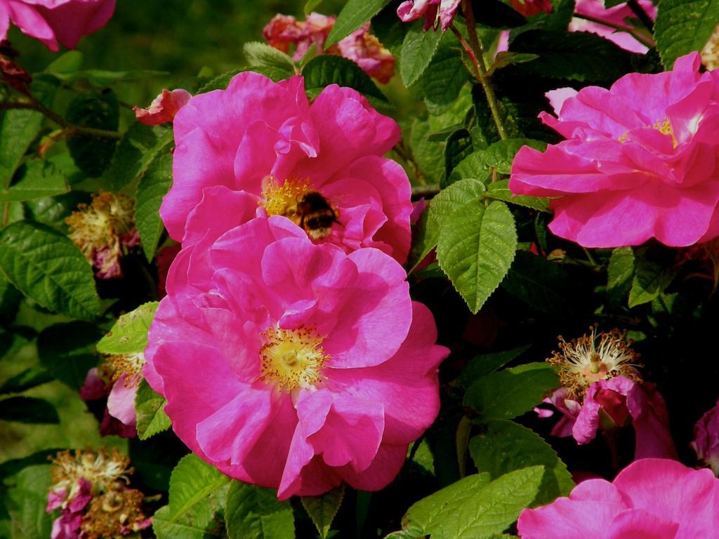 Rosa de castilla rosa gallica jpg