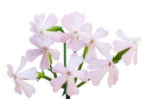 saponaria-flor