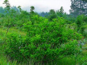 Rhamnus frangula
