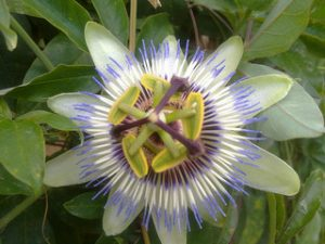 Pasiflora, flor de la pasión