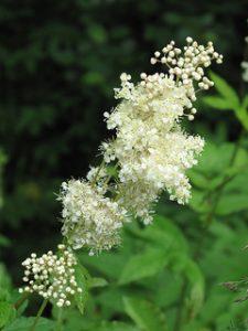 Ulmaria (Filipendula ulmaria)