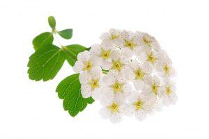 espino-blanco