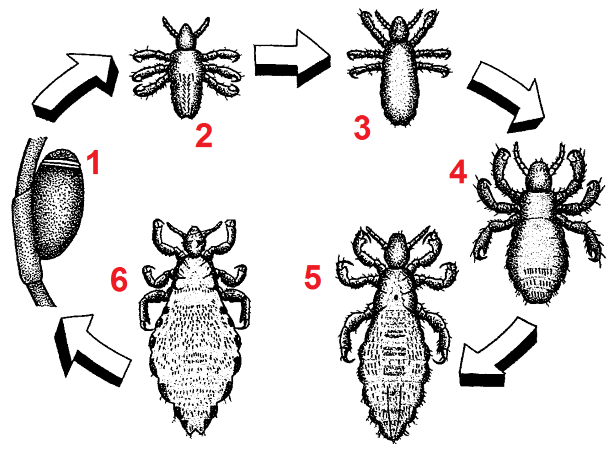 Pediculus humanus development numberedblackwhite