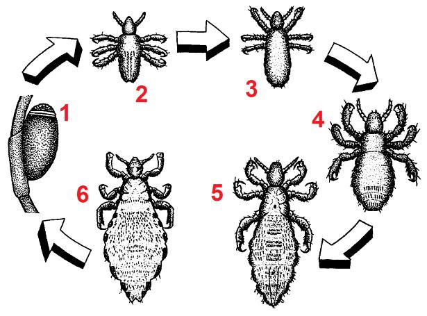 Pediculus humanus development numberedblackwhite