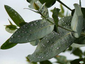 Hojas eucalipto