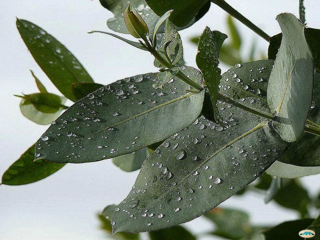 El eucalipto va a desinflamar tus fosas nasales