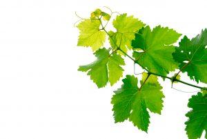 hojas-vid-uva
