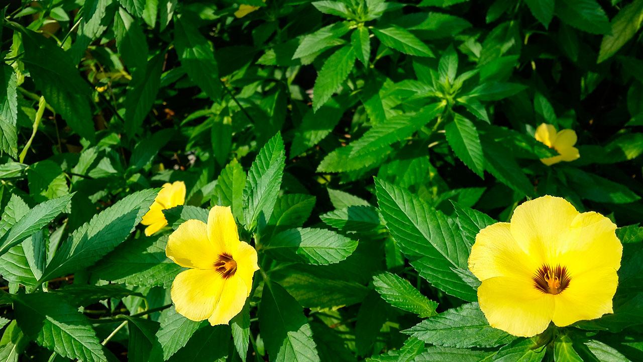 Damiana propiedades beneficios y para qu sirve for Planta decorativa con propiedades medicinales