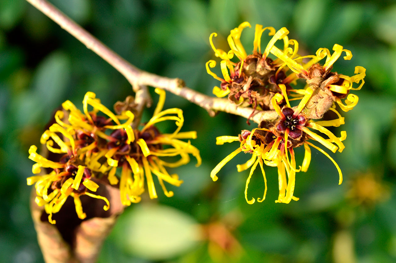 Remedio de Hamamelis para las Varices