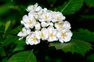 Esìno-blanco-Hawthorn