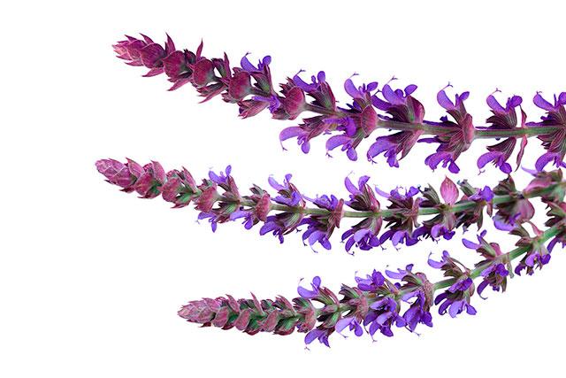 Salvia-Sage