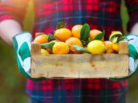 bigstock-Box-Of-The-Tangerine-In-The-Ha-108300212
