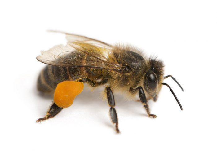 abeja-miel-jalea-real