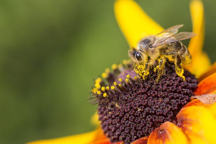 abeja-polen-flor-jalea-real-miel
