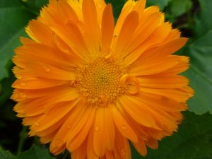 calendula-officinalis-681340_1280