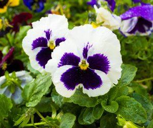 Pensamiento propiedades beneficios y para qu sirve for Tres plantas ornamentales